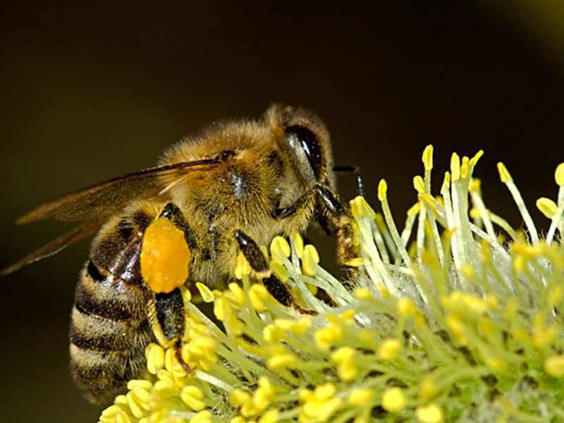 abeille-thuramap